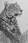 Leopard by riksons