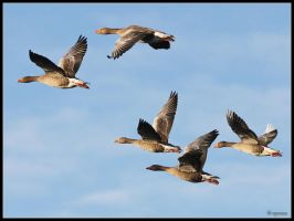 Greylag Geese Formation by cycoze