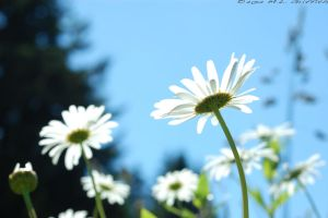 Daisies from Underneath 2 by M-L-Griffith