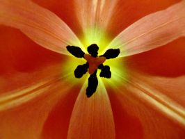looking into a tulip by Dieffi