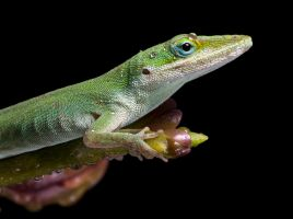Macro Anole by AngiWallace