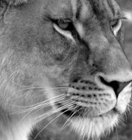 Lion B and W by Jenvanw