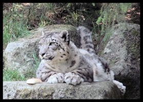 The Majestic Snow Leopard by MoogleyBacon