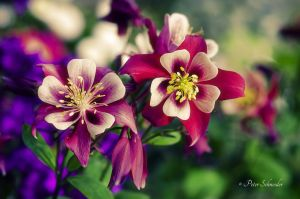 Columbine. by Phototubby