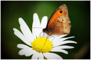 butterfly by FMpicturs