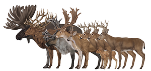 How to draw deers by LadyAway