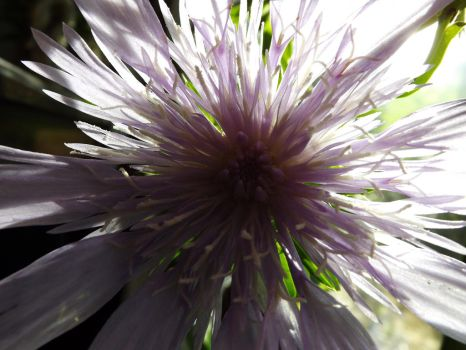Light shining through a Pincushion Flower by ArtistMaryAlice