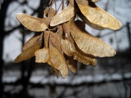Maple Seeds by lsalsa