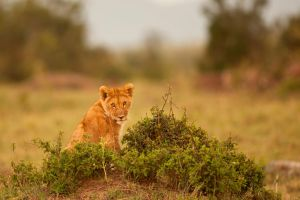 African Lion 54 by catman-suha