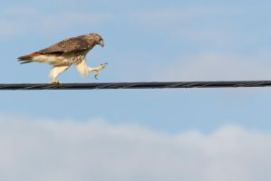 Hawk High Wire Act 2 by bovey-photo
