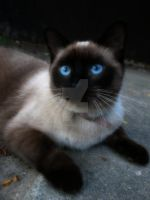 siamese cat by ponyfreak101