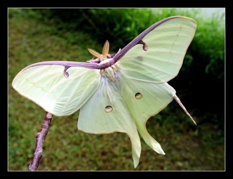 THE LUNA MOTH by littleredelf