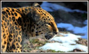 My Amur 6 by SilkenWinds