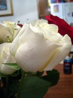 white rose 1 by turtledove-stock
