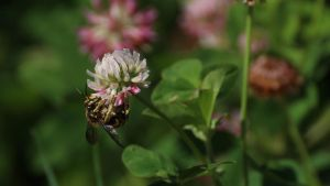 Trifolium and a bee by EugeneZayats