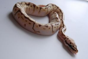 Baby Ball Python 13 by FearBeforeValor