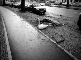 swan in street by ChristianRudat