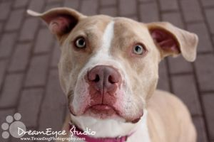 Pinky the Pretty Pittie Looking for her HOME by DreamEyce