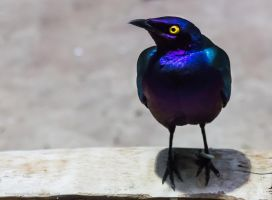 Cape Starling by OrangeRoom