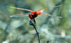 Dragonfly 2 by Fridelisan
