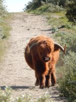 Highland cattle 11 by queenofeagles
