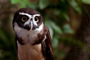 Spectacled Owl by ribbonworm