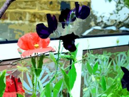 Paper Cut Out Poppy And Nearly Black Sweet Peas by aegiandyad