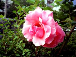 roses are...pink by Corsico