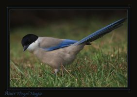 cheeky Boy - Azure winged Magpie by Jamie-MacArthur