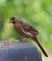 Female Cardinal 8-19-11 by Tailgun2009