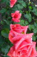 roses after rain by TamaraLejla