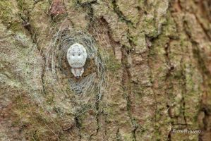 Ornamental Tree Trunk Spider by melvynyeo