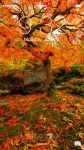 Autumn Japanese Maple 1080p Wallpaper by brandtcampbell