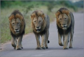 mane road lions by leachypip