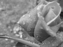 Raindrops On Roses by FlyHigh20