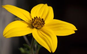 Yellow Flower - 2013 - by PascalsPhotography