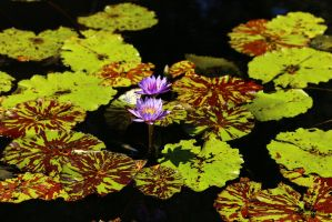 Water Lily Series  2911 by Doumanis