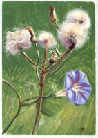 Sow Thistle And Convolvulus by h-i-l-e-x