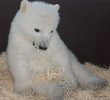 Pooped Polar Bear Cub by lenslady