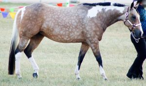 QH buckskin paint walking 2 by Chunga-Stock