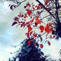 Red leaves. by SanaKoizumi