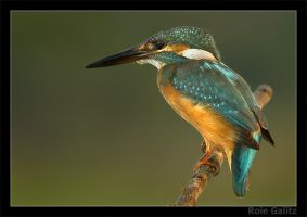Kingfisher on the watch by RoieG