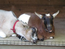 Goats, No Longer Snuggly by SubRosa-undertherose