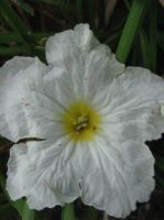 Tropical White Flower by my-dog-corky
