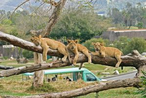 Lion Cubs on Limb by dkbarto