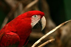 Red Macaw by IvanAntolic
