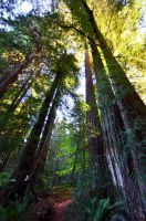 Redwood Forest 6 by BloodyLies