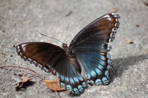 Pretty Blue Butterfly :D by TheWritingDragon