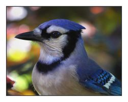 Portrait of a Jay by barcon53