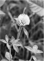 Clover Flower by Cleonor